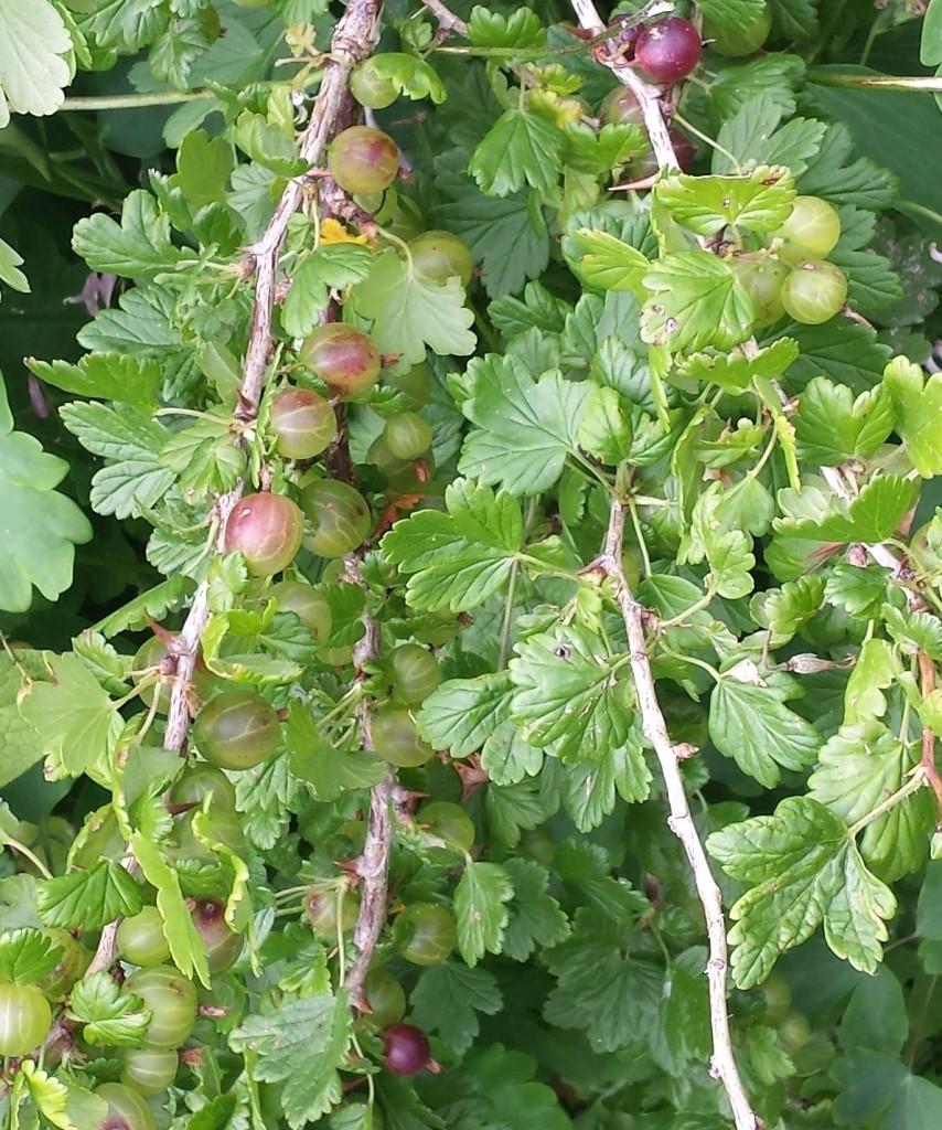 worcesterberriescrop